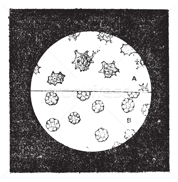 Fig. 6. A. Colorless cells of the mussel. B. Blood cells of slug Stock photo © Morphart