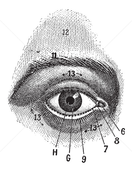 External View of the Human Eye, vintage engraving Stock photo © Morphart