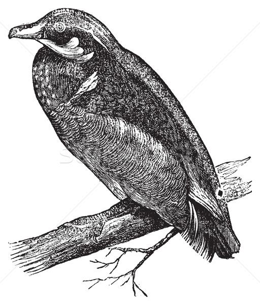 Wood duck, Carolina duck or Aix sponsa engraving Stock photo © Morphart