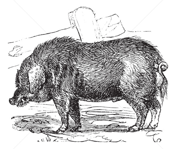 Curly-hair Hog or Mangalitsa or Mangalitza or Mangalica or Sus b Stock photo © Morphart
