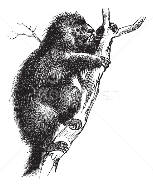 Common Porcupine or North American Porcupine or Canadian Porcupi Stock photo © Morphart