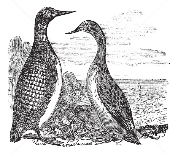 Great Northern Loon or Great Northern Diver or Common Loon or Ga Stock photo © Morphart