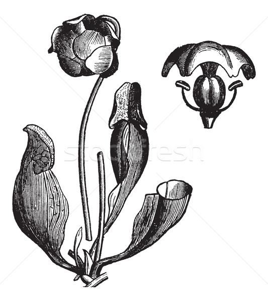 Purple pitcher plant or Sarracenia purpurea vintage engraving Stock photo © Morphart