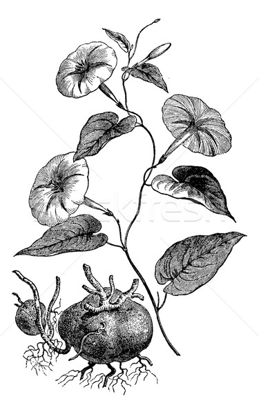 Jalap or Ipomoea purga, vintage engraving Stock photo © Morphart