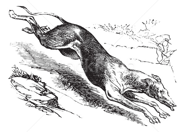 English Greyhound vintage engraving Stock photo © Morphart