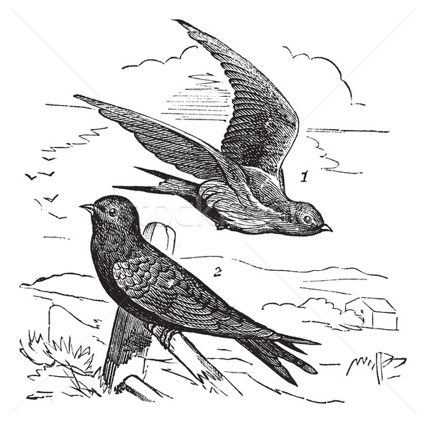 Common Swift or Apus apus vintage engraving Stock photo © Morphart