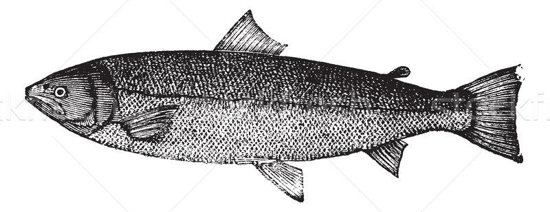 Atlantic salmon or Salmo salar vintage engraving Stock photo © Morphart