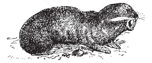 моль крыса Vintage иллюстрация Сток-фото © Morphart