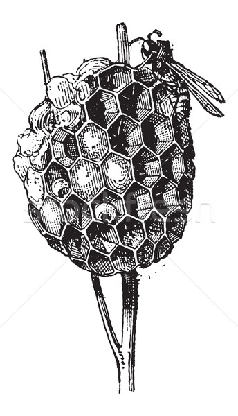 Nest or Hive, of Paper Wasp or Polistes sp., vintage engraving Stock photo © Morphart