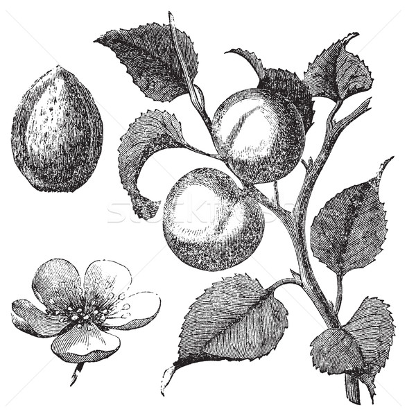Apricot flower, tree and kernel old engraved illustration Stock photo © Morphart