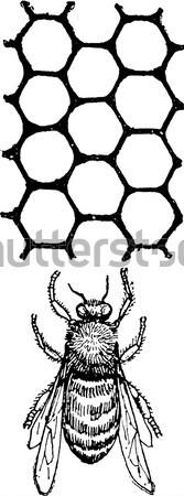 Head lice or Pediculus humanus capitis vintage engraving Stock photo © Morphart
