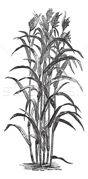 Sorghum bicolour or sorghum vintage engraving Stock photo © Morphart