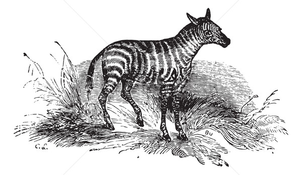 Young Zebra, vintage engraving. Stock photo © Morphart