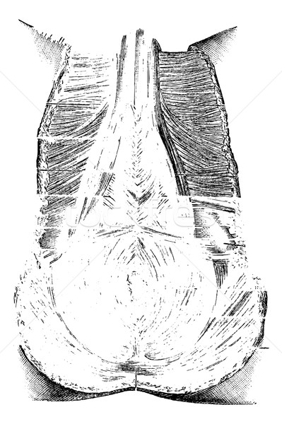Perineum or Region of the Genitals and Anus, vintage engraving Stock photo © Morphart