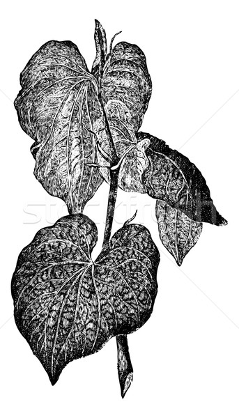 Kava or Piper methysticum, vintage engraving Stock photo © Morphart