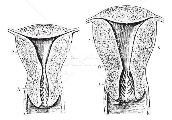 Section of a virgin womb Cup, vintage engraving. Stock photo © Morphart