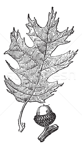 Black oak or Quercus velutina vintage engraving Stock photo © Morphart