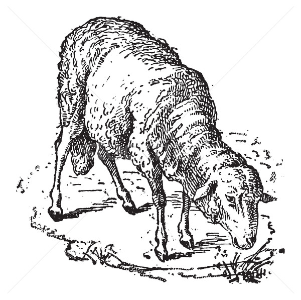 Sheep or Ovis aries, vintage engraving Stock photo © Morphart