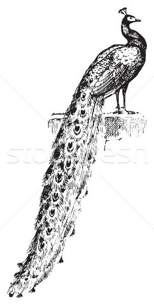 Paon vintage gravure gravé illustration dictionnaire Photo stock © Morphart