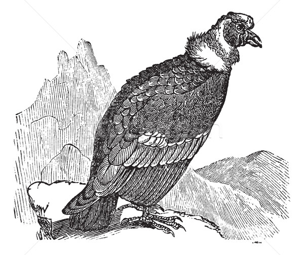 Andean Condor or Vultur gryphus vintage engraving Stock photo © Morphart