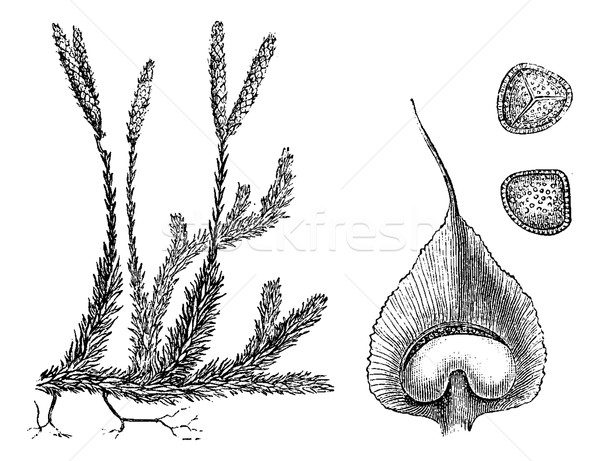 Lycopodium or Ground pines, vintage engraving. Stock photo © Morphart