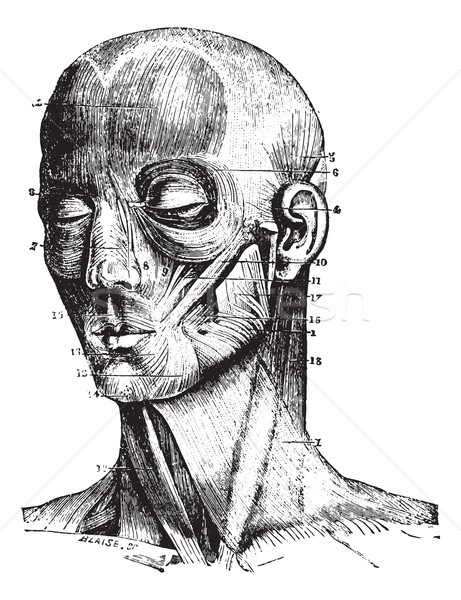 Muscles of the face, vintage engraving. Stock photo © Morphart