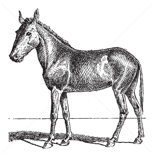 Mule or Equus mulus, vintage engraving Stock photo © Morphart