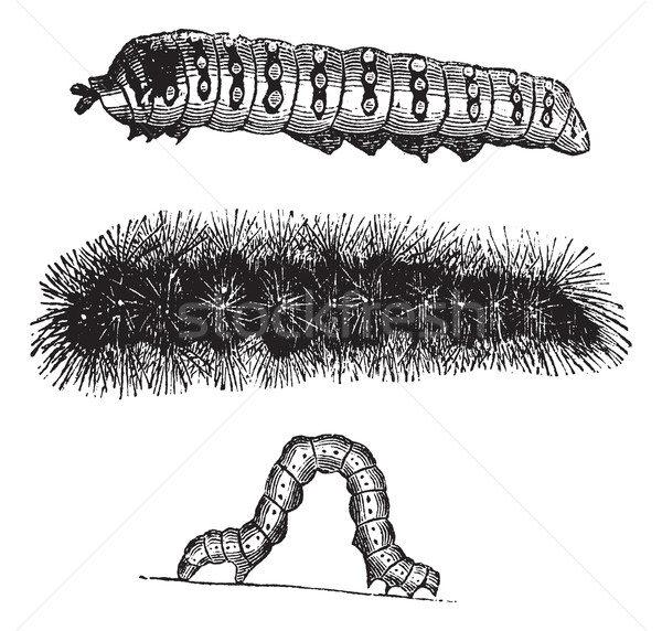 Caterpillar vintage engraving Stock photo © Morphart