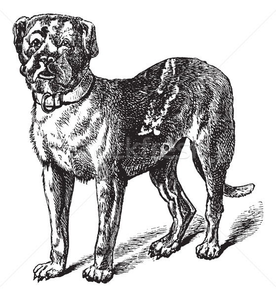 Dogue or Dogue de Bordeaux or Bordeaux Mastiff or French Mastiff Stock photo © Morphart