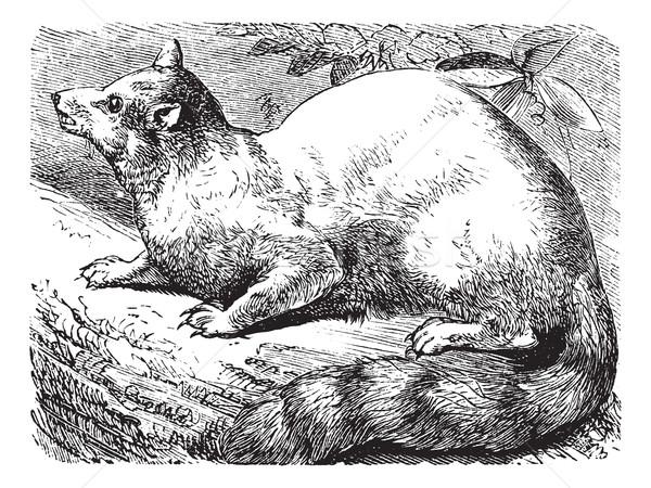 Ringtail or Ring-tailed Cat or Bassariscus astutus vintage engra Stock photo © Morphart