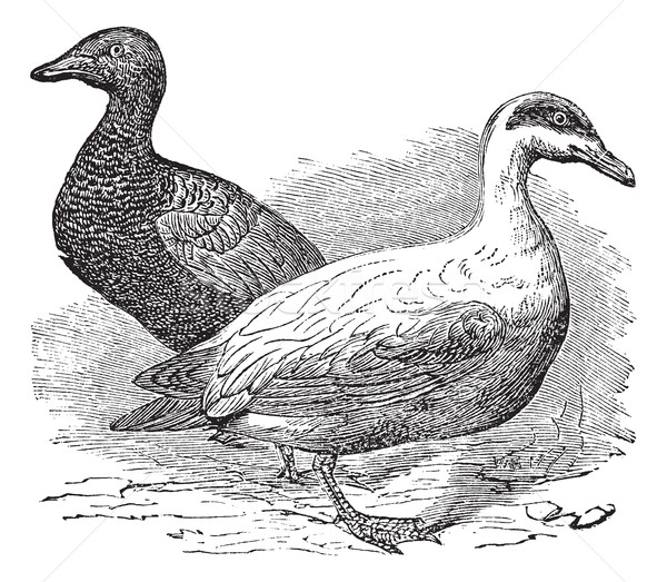 Common Eider or Somateria mollissima, vintage engraving Stock photo © Morphart