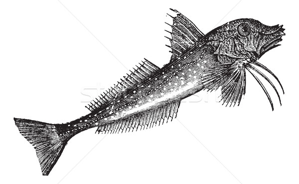 Grey Gurnard (Trigla gurnardus) or Sea robinvintage engraving Stock photo © Morphart