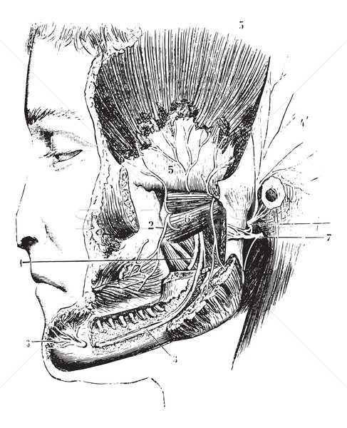 Lateral pterygoid or External pterygoid, vintage engraving. Stock photo © Morphart