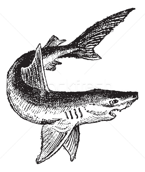 Shark isolated on white, vintage engraving. Stock photo © Morphart