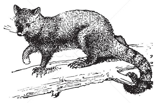 Possum, vintage engraving. Stock photo © Morphart
