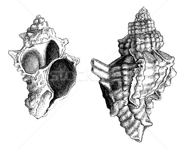 Banded Dye-murex or Murex trunculus or Hexaplex trunculus, vinta Stock photo © Morphart
