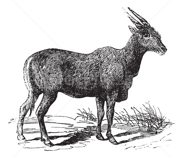 Oreas Canna, Eland or South African antelope vintage engraving Stock photo © Morphart