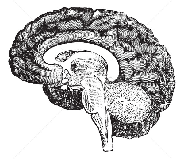 Vertical section of side view of a human brain vintage engraving Stock photo © Morphart