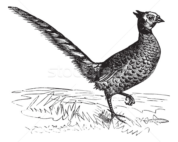 Common Pheasant or Phasianus colchicus, vintage engraving Stock photo © Morphart