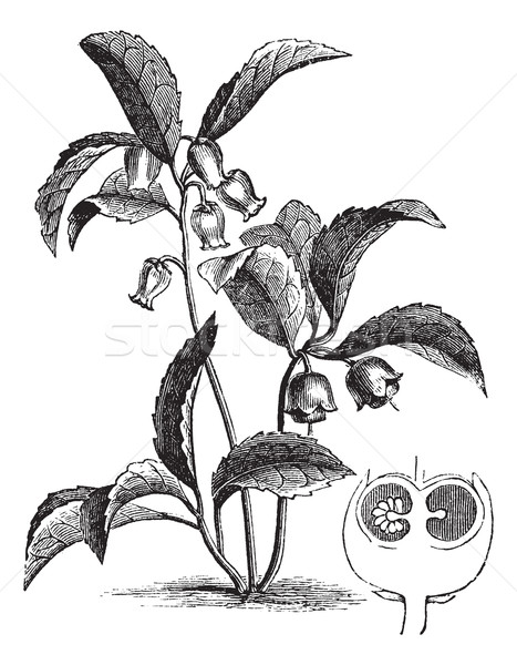 Gaultheria procumbens or Eastern teaberry vintage engraving Stock photo © Morphart