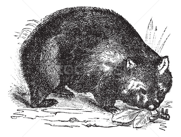 Common wombat or Vombatus ursinus vintage engraving Stock photo © Morphart