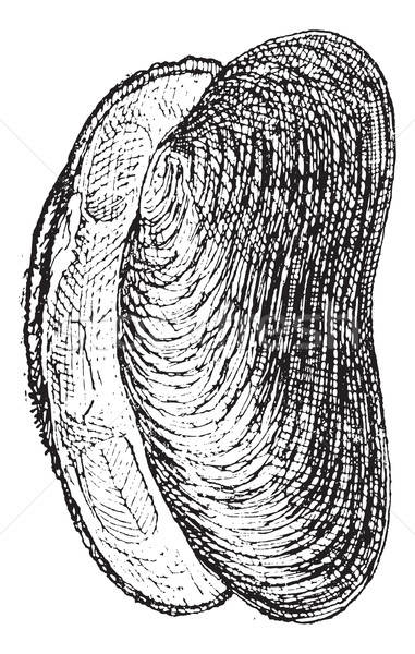 River Mussel or Unio sp., vintage engraving Stock photo © Morphart