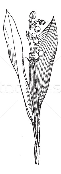 Lily of the Valley or Convallaria majalis, vintage engraving Stock photo © Morphart