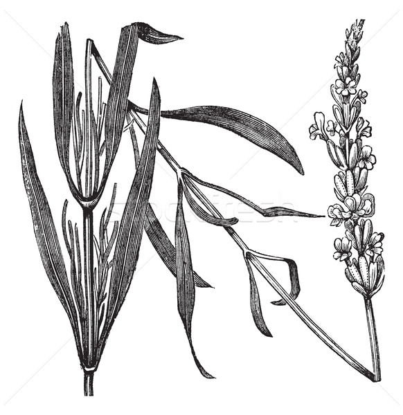 Common Lavender or Lavandula angustifolia, vintage engraving Stock photo © Morphart