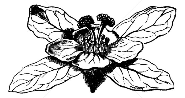 Hagenia or Hagenia abyssinica, vintage engraving Stock photo © Morphart