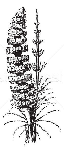 Common Horsetail or Equisetum arvense vintage engraving Stock photo © Morphart