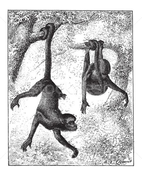 Spider Monkey or Ateles sp., vintage engraving Stock photo © Morphart