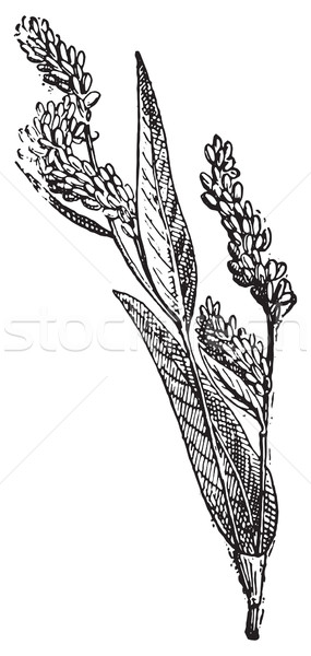 Lady's Thumb or Soft Smartweed, vintage engraving. Stock photo © Morphart
