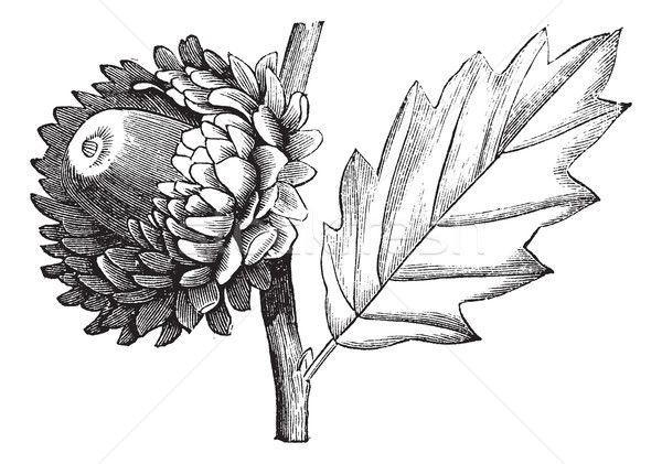 Valonia Oak vintage engraving Stock photo © Morphart