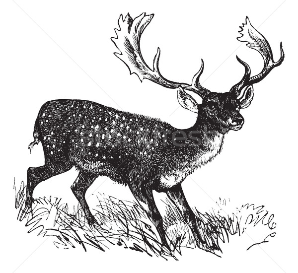 Fallow Deer or Dama dama, vintage engraving Stock photo © Morphart